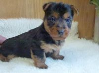 Australian Terrier Puppies for sale in Dallas, TX, USA. price: NA