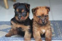 Australian Terrier Puppies for sale in Beaver Creek, CO 81620, USA. price: NA