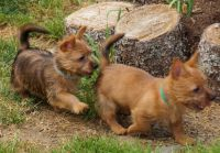 Australian Terrier Puppies for sale in Indianapolis, IN, USA. price: NA
