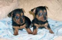 Australian Terrier Puppies for sale in Georgetown, GA, USA. price: NA