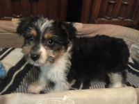 Australian Terrier Puppies for sale in Kansas City, MO, USA. price: NA