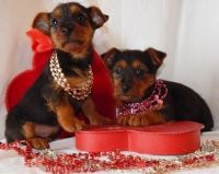 Australian Terrier Puppies for sale in Seattle, WA 98103, USA. price: NA