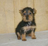 Australian Terrier Puppies for sale in Seattle, WA, USA. price: NA