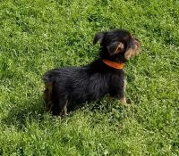 Australian Terrier Puppies for sale in Houston, TX, USA. price: NA