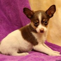 Australian Terrier Puppies for sale in Georgia Dome Dr, Atlanta, GA 30313, USA. price: NA
