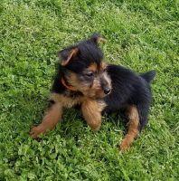 Australian Terrier Puppies for sale in Detroit, MI, USA. price: NA