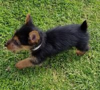 Australian Terrier Puppies for sale in Beverly Hills, CA 90210, USA. price: NA