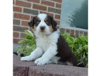 Australian Terrier Puppies for sale in California Rd, Mt Vernon, NY 10552, USA. price: NA