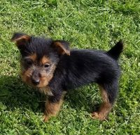 Australian Terrier Puppies for sale in Fresno, CA, USA. price: NA