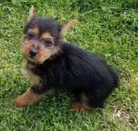 Australian Terrier Puppies for sale in Boston, MA, USA. price: NA