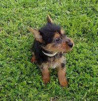 Australian Terrier Puppies for sale in Newark, NJ, USA. price: NA