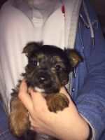 Australian Terrier Puppies for sale in Central Ave, Jersey City, NJ, USA. price: NA