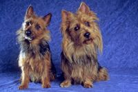 Australian Terrier Puppies for sale in Tempe, AZ, USA. price: NA