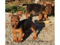 Australian Terrier Puppies for sale in Santa Rosa, CA, USA. price: NA