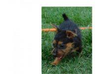 Australian Terrier Puppies for sale in TX-121, McKinney, TX, USA. price: NA