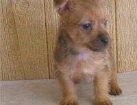 Australian Terrier Puppies for sale in New York, NY, USA. price: NA