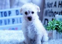 Australian Terrier Puppies for sale in Orange County, CA, USA. price: NA
