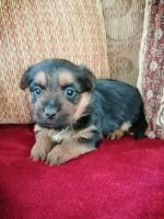 Australian Terrier Puppies for sale in Bell Gardens, CA 90202, USA. price: NA