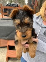 Australian Terrier Puppies for sale in Hollis, ME, USA. price: NA