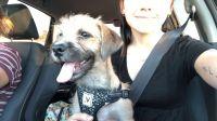 Australian Terrier Puppies for sale in Mesa, AZ, USA. price: NA