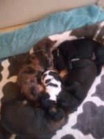 Australian Terrier Puppies for sale in 3268 Henson Rd, Red Boiling Springs, TN 37150, USA. price: NA