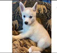 Australian Terrier Puppies for sale in Miami, FL 33101, USA. price: NA