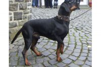 austrian black and tan hound dog