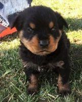 Austrian Pinscher Puppies for sale in Atlanta, GA, USA. price: NA