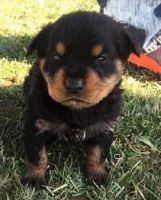 Austrian Pinscher Puppies for sale in Los Angeles, CA, USA. price: NA