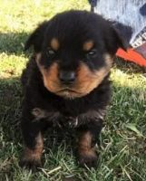 Austrian Pinscher Puppies for sale in New York, NY, USA. price: NA