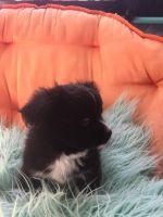 Austrian Pinscher Puppies for sale in New Port Richey, FL, USA. price: NA