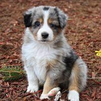 Austrian Pinscher Puppies Photos