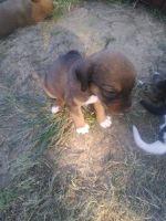 Bagel Hound  Puppies Photos