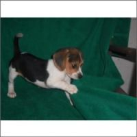 Bagel Hound  Puppies for sale in Miami, FL, USA. price: NA