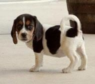 Bagel Hound  Puppies for sale in Little Rock, AR, USA. price: NA