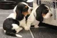 Bagel Hound  Puppies for sale in Tampa, FL, USA. price: NA