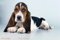 Bagel Hound  Puppies for sale in Huntington Beach, CA, USA. price: NA