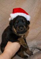 Bagel Hound  Puppies for sale in Doddridge, Sulphur Township, AR 71826, USA. price: NA