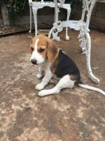 Bagel Hound  Puppies for sale in Boulder, CO, USA. price: NA