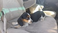 Bagel Hound  Puppies for sale in Minneapolis, MN, USA. price: NA