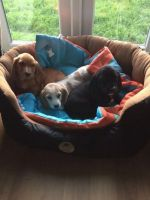 Bagel Hound  Puppies for sale in Los Angeles, CA, USA. price: NA