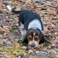 Bagel Hound  Puppies for sale in Old Town, FL 32680, USA. price: NA