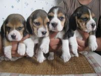 Bagel Hound  Puppies for sale in NC-150, Winston-Salem, NC, USA. price: NA