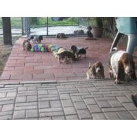 Bagel Hound  Puppies for sale in New York, NY, USA. price: NA