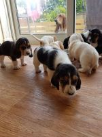 Bagel Hound  Puppies for sale in Las Vegas, NV, USA. price: NA