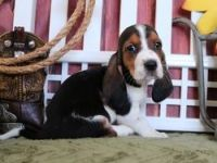 Bagel Hound  Puppies for sale in San Diego, CA, USA. price: NA