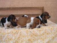 Bagel Hound  Puppies for sale in Wichita, KS, USA. price: NA