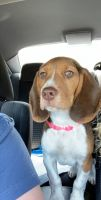 Bagel Hound  Puppies for sale in 1714 Grand Ave, Knoxville, TN 37916, USA. price: NA