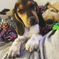 Bagel Hound  Puppies for sale in Denver, CO 80214, USA. price: NA