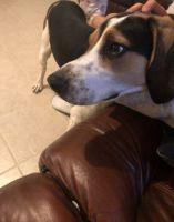 Bagel Hound  Puppies for sale in Rexburg, ID, USA. price: NA